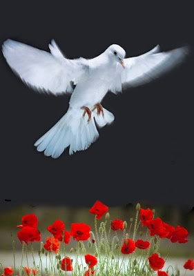 Dove and red poppies